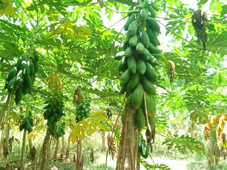 પોતાના પરિવારની કેળા અને પપૈયા જેવી ખેતી પણ સંભાળી રહ્યા છે