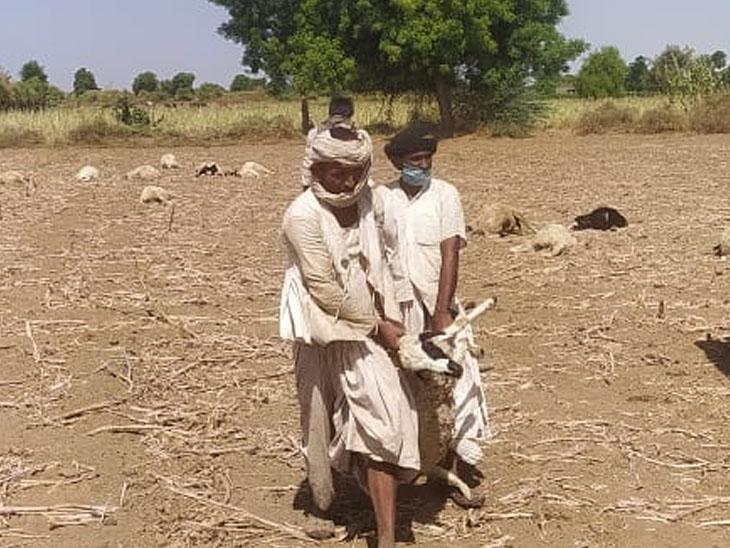 સુઈગામના જેલાણા ગામે ખોરાકી ઝેરથી 42 ઘેટાં સહિત 2 ગાયોના મોત નિપજ્યા હતા.જેને લઈ ગમગીની છવાઈ હતી. - Divya Bhaskar