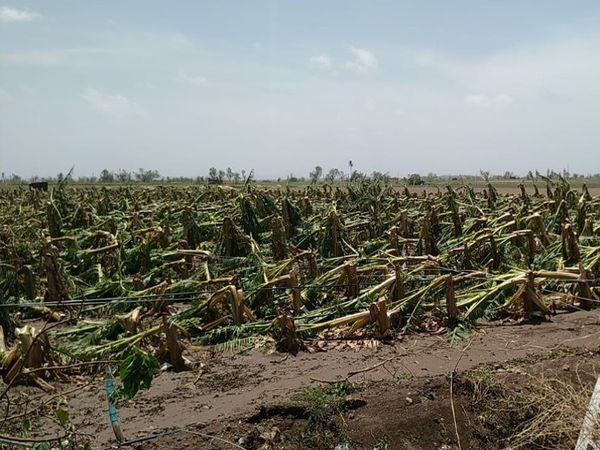 કેળાં અને નારિયેળીના પાકને વ્યાપક પ્રમાણમાં નુકસાન થયું.