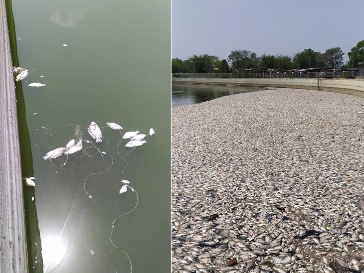 અમદાવાદના લાંભા ગામના તળાવમાં ઓક્સિજન ન મળતા હજારો માછલાના મોત, સ્થાનિકો અસહ્ય દુર્ગંધથી પરેશાન|અમદાવાદ,Ahmedabad - Divya Bhaskar