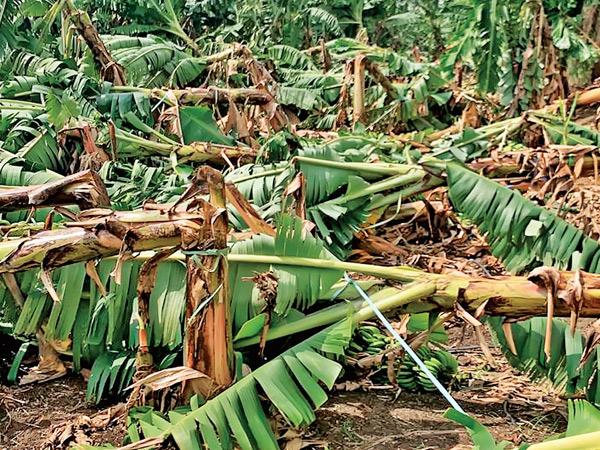બાગાયત મંડળીના 800 ખેડૂતોને કેળના પાકમાં કરોડોનું નુકસાન બારડોલી,Bardoli - Divya Bhaskar