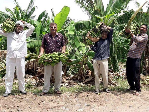 ઉપલેટામાં તાઉ-તે વાવાઝોડાએ 100 વીઘાના કેળના પાકને તબાહ કરી નાખ્યો, ખેડૂતોએ નુકસાની અંગે CMને પત્ર લખી સહાયની માંગ કરી રાજકોટ,Rajkot - Divya Bhaskar
