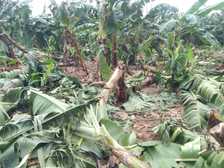કેળના પાકમાં 15થી 20 ટકા જેટલું નુકશાન થયું છે(પ્રતિકાત્મક તસવીર)