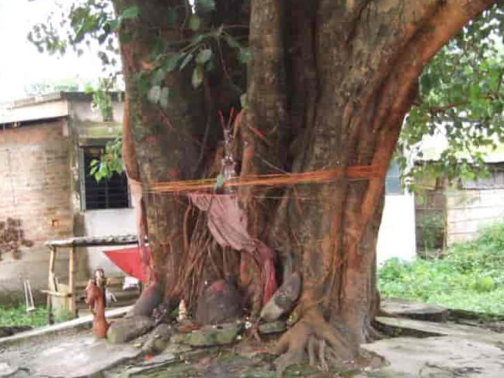 પીપળો જ એક એવું ઝાડ છે જેમા બ્રહ્મા, વિષ્ણુ અને શિવજી ત્રણેય દેવતાઓનો વાસ થાય છે