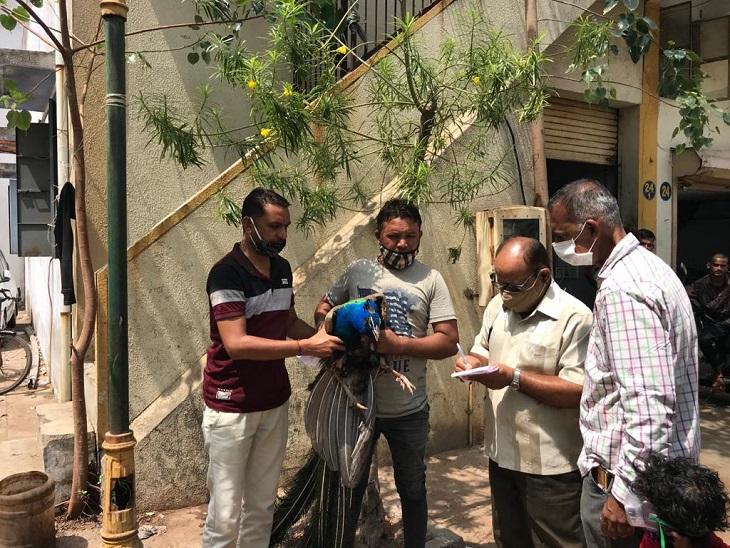 અમદાવાદમાં ઘાયલ મોરની સારવાર માટે બેદરકાર બન્યો વન વિભાગ, ફોન કર્યાના કલાકો સુધી મદદ ન મળી, આખરે લોકોએ જીવદયા સંસ્થાનો સંપર્ક કર્યો|અમદાવાદ,Ahmedabad - Divya Bhaskar