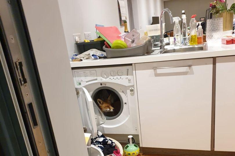 માર્કેટમાંથી પરત આવતાં જ ઘરમાં વૉશિંગ મશીનમાં શિયાળ જોઈ મહિલા ચોંકી ગઈ, શિયાળને નાસ્તામાં પાસ્તા ઓફર કર્યા|લાઇફસ્ટાઇલ,Lifestyle - Divya Bhaskar
