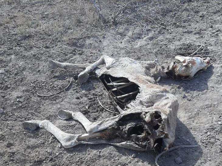 સાંતલપુરના રોઝુ પાસે ઘુડખરના 3 મૃતદેહ મળ્યા, પૂર્વ કચ્છ વનતંત્રે રણમાં સર્ચ ઓપરેશન આદર્યું લાખોદ,Lakhond - Divya Bhaskar