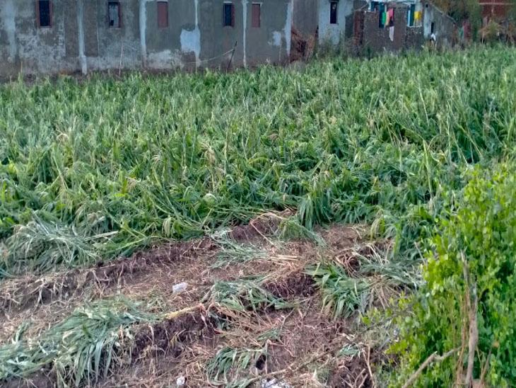 વરસાદ-વાવાઝોડાથી જિલ્લામાં 31,945 હેકટરમાં ખેતી-બાગાયતી પાકોને નુકશાન ભાવનગર,Bhavnagar - Divya Bhaskar