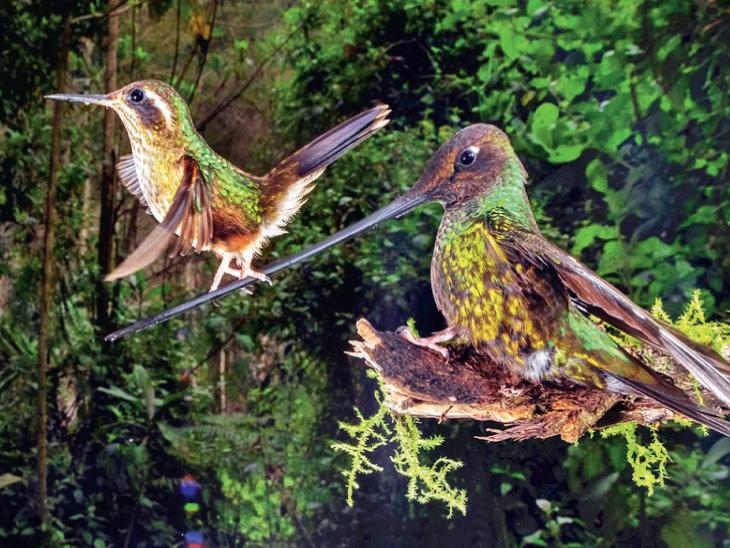 નિકોલસ રેઉસેન્સની આ તસવીર પક્ષીઓની કેટેગરીમાં ફાઇનલિસ્ટ બની છે. ઇક્વાડોરમાં તલવાર જેવી ચાંચવાળા હમિંગબર્ડ મોટી સંખ્યામાં છે. નિકોલસ કહે છે, 'હમિંગબર્ડના બચ્ચાંની ટ્રેનિંગ મેં નજીકથી જોઇ છે.'