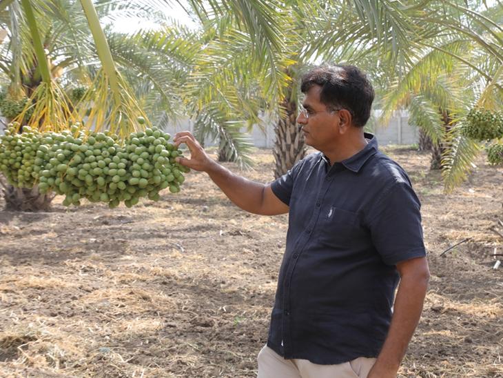 ડોક્ટરની પ્રેક્ટિસ છોડી ખેતી શરૂ કરી, ટિશ્યૂ કલ્ચર પદ્ધતિથી વાવેતર કરી 70 કિલો ખારેકનો ઉતારો લીધો રાજકોટ,Rajkot - Divya Bhaskar