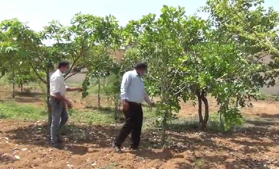 વડગામની 10 એકરમાં ફેલાયેલી આયુર્વેદિક હોસ્પિટલના કેપ્સમાં 60 પ્રકારના વૃક્ષો, પાંચ વર્ષમાં 500 રોપાનું વાવેતર પાલનપુર (બનાસકાંઠા),Palanpur (Banaskantha) - Divya Bhaskar
