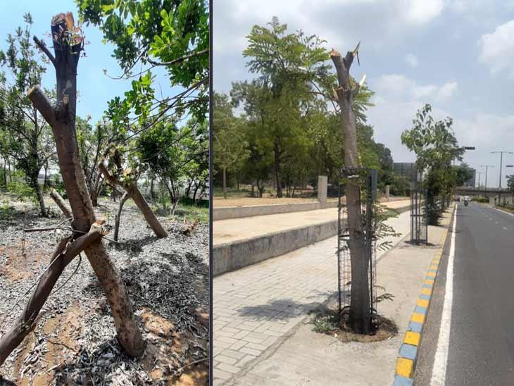 તાઉ-તે વાવાઝોડામાં 2 હજાર વૃક્ષો પડી ગયા, રિવરફ્રન્ટ ડેવલોપમેન્ટે ઊભા કર્યા અને નવેસરથી વાવ્યા|અમદાવાદ,Ahmedabad - Divya Bhaskar