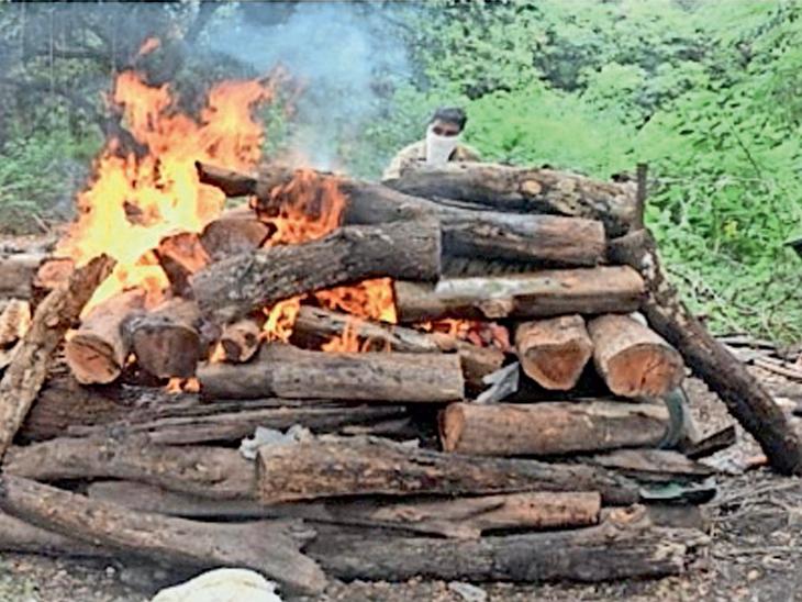 નેચરપાર્કમાં વાઘણનું મોત, સર્પદંશથી મૃત્યુ થયાની શંકા સુરત,Surat - Divya Bhaskar