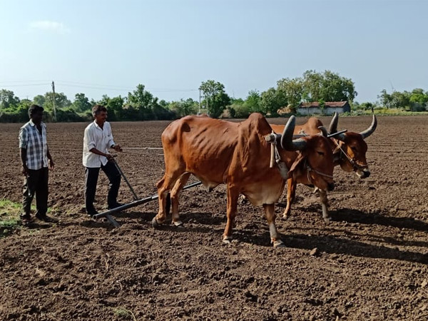 બાબરાના 10 ગામમાં કપાસ, મગફળી વાવવાની શરૂઆત - Divya Bhaskar