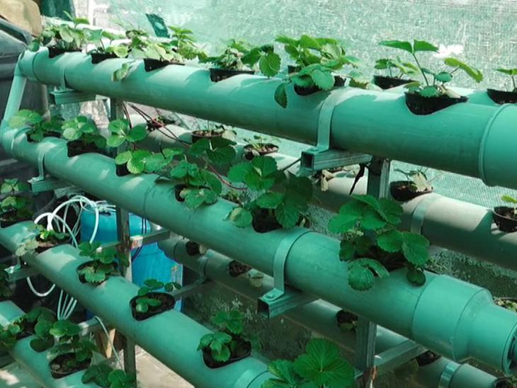 હાઈડ્રોપોનિક્સ પદ્ધતિથી ખેતીની તસવીર - Divya Bhaskar