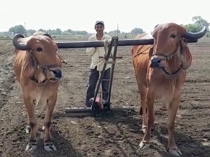 ઘાસચારો ભાવ વધતા ખેડૂતોને બળદ સાચવવા પોસાતા નથી.