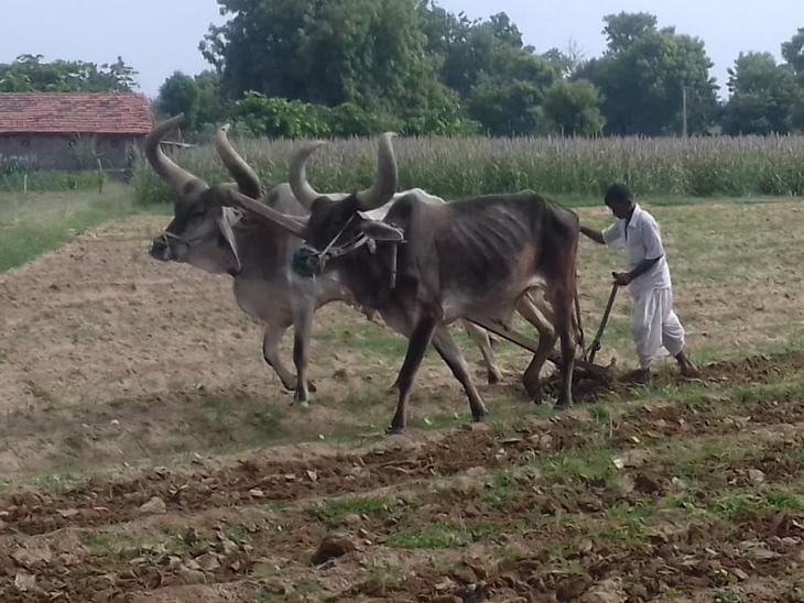 ખારેડા ગામમાં હળ બળદ વડે કપાસની વાવણી શરૂ. - Divya Bhaskar