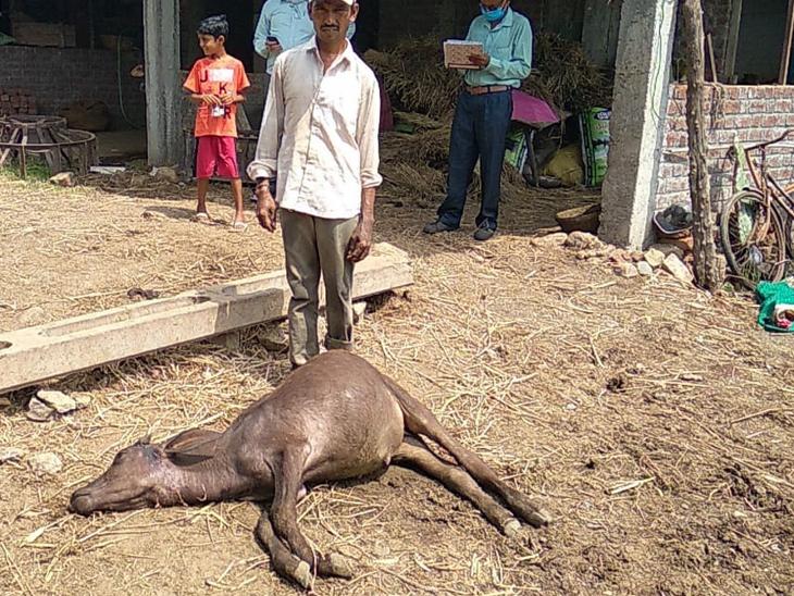પેલાડ બુહારીમાં હિંસક દિપડાએ એક પાડીયાને ફાડી ખાધું. - Divya Bhaskar