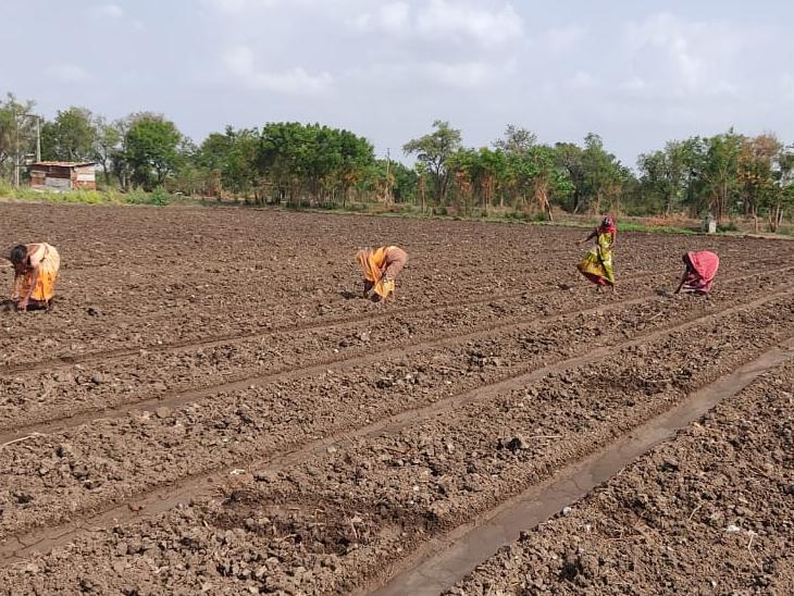 તાલુકાનો મેવાસ વિસ્તાર કપાસની ખેતી માટે જાણીતો છે. - Divya Bhaskar
