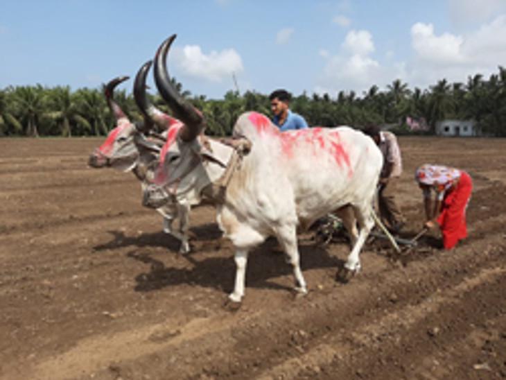 ખેડૂતો દ્વારા આગોતરા આયોજન સાથે વાવેતર કરવામાં આવ્યું.