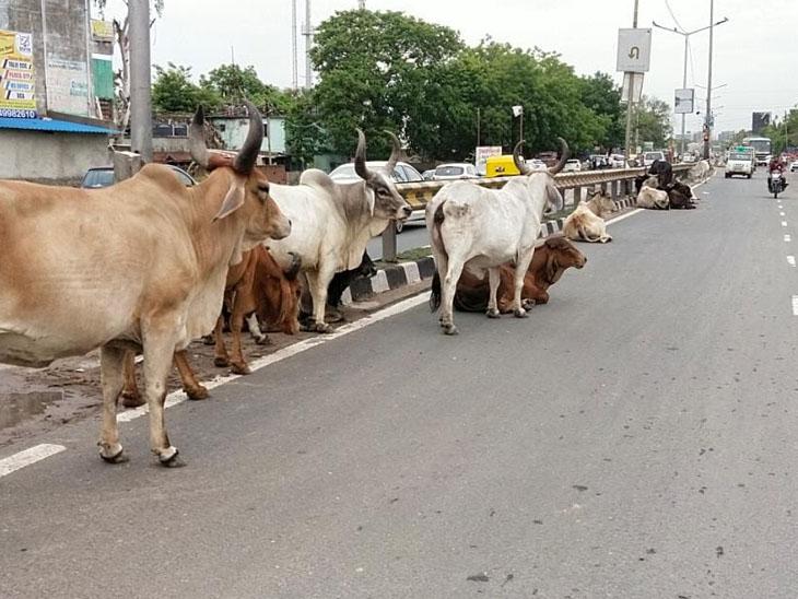 સાણંદ હાઈવે પર  ગાયોનો અડ્ડો જમાવતા અકસ્માતનો ભય. - Divya Bhaskar