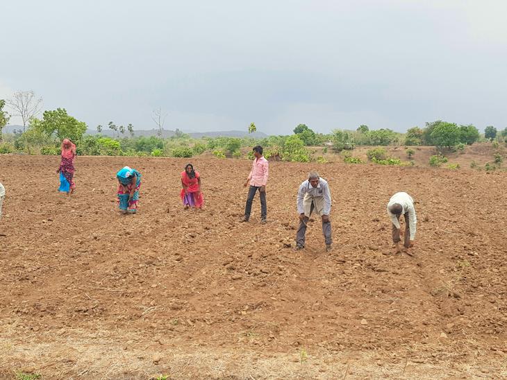 ખુશાલપુરાના ખેડૂતો કપાસની વાણવી કરે છે. - Divya Bhaskar