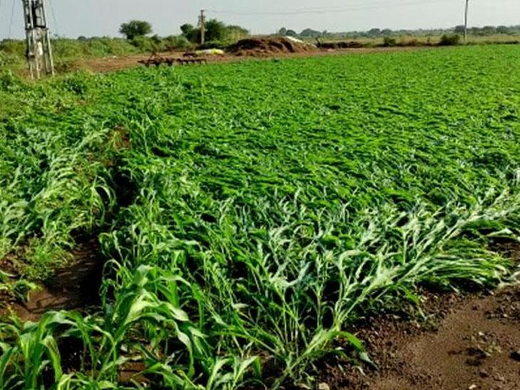 રાસાયણિક ખાતરનો વધુ ઉપયોગ જોખમી, ઓર્ગેનિકમાં ખેડૂતને ઓછા ખર્ચે વધુ લાભ|રાજકોટ,Rajkot - Divya Bhaskar