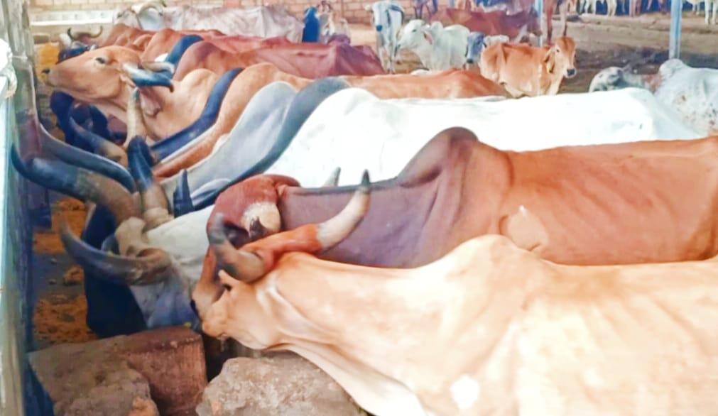 ચોટીલામાં ગૃરૂકૃપા ફાઉન્ડેશન દ્વારા પાંજરાપોળઆ પશુઓને સુખડીનું વિતરણ કરાયું - Divya Bhaskar