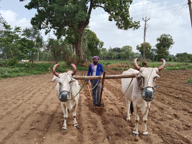 વાવણી લાયક વરસાદ વરસતાં દાતલા ગામના ખેતરમાં બળદ અને ઓજારા સાથે વાવણી કરતો ખેડુત. - Divya Bhaskar