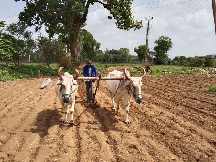 ખેતરમાં બળદ અને ઓજારા સાથે વાવણી કરતો ખેડુત. - Divya Bhaskar