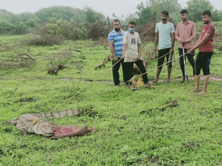 જીએસપીસીએ અને વન વિભાગ દ્વારા 6 ફૂટ લંબાઇનો મગર રેસ્ક્યૂ કર્યો - Divya Bhaskar