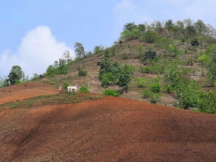 નસવાડીના રાધનાપાણી ગામે ડુંગર પર બળદ હલકડા સાથે બાંધી ખેતી કરતા ખેડૂતો. - Divya Bhaskar