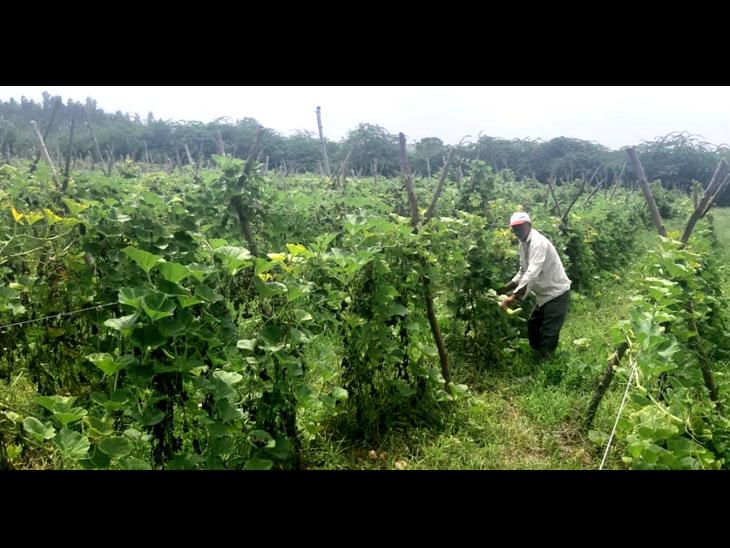 રતનકુવા ગામન ખેડૂતે બાગાયતી દૂધીની ખેતી કરી - Divya Bhaskar