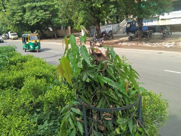 અમૂલ ડેરી રોડ પર બોર્ડ મુકવા 7 વૃક્ષોનું કટીંગ કરાયું|આણંદ,Anand - Divya Bhaskar
