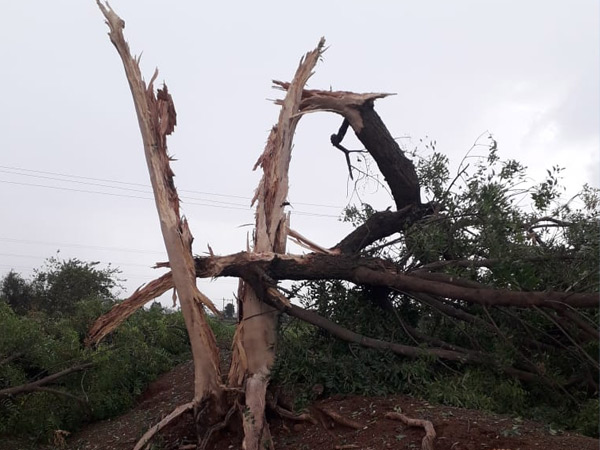 ઇટાળી ગામે વિજળી પડતાં લીમડાનું ઝાડ ઉભું ફાટ્યું. - Divya Bhaskar