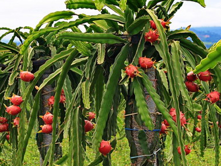 રાજ્યમાં ડ્રેગન ફ્રૂટની ખેતી માટે બાગાયત વિભાગે ખેડૂતોને સહાય આપવાનો પ્રારંભ કર્યો, વડોદરા જિલ્લાના 10 ખેડૂતોએ અરજી કરી વડોદરા,Vadodara - Divya Bhaskar