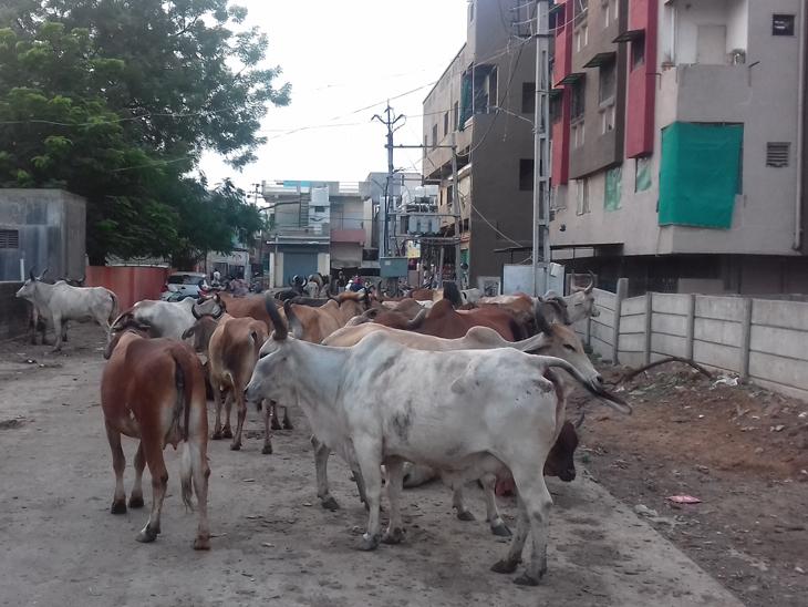 સાઈબાબા મંદિર રોડ સહિત જુદી-જુદી જગ્યાઓએ રખડતી ગાયો અડીંગો જમાવી દેતી હોય છે. - Divya Bhaskar