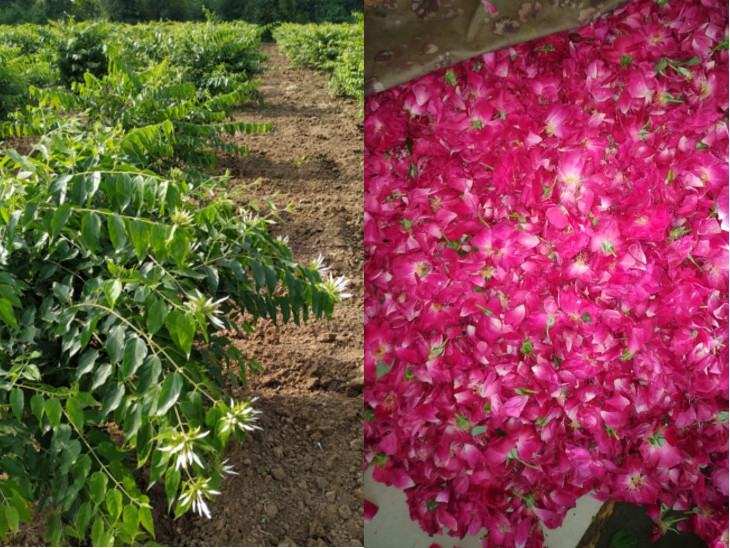પ્રગતિશીલ ખેડૂત કહે છે કે, ફૂલોની ખેતીમાં પ્રવાહ પલટાયો હોય એવું લાગે છે અને ટકાઉ પણા સામે સુગંધ જીતી રહી છે