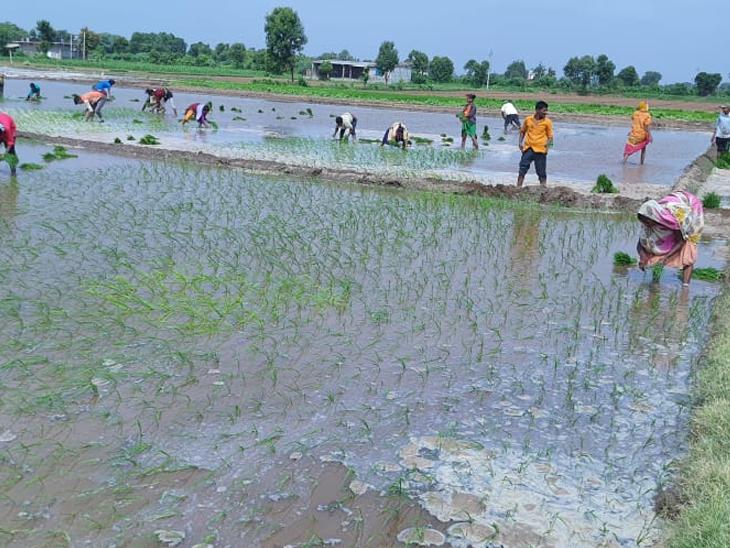 વરસાદ ખેંચાતા ડાંગરનું વાવેતર કરેલા ખેડુતોની હાલત કફોડી બની - Divya Bhaskar