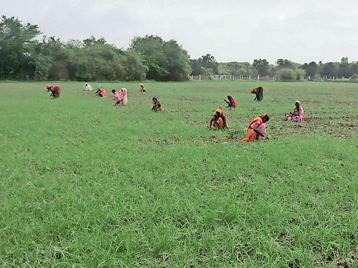 સંખેડા તાલુકામાં વરસાદે વિરામ લેતા ખેડૂતો નિંદામણની કામગીરીમાં જોતરાયા છે. - Divya Bhaskar