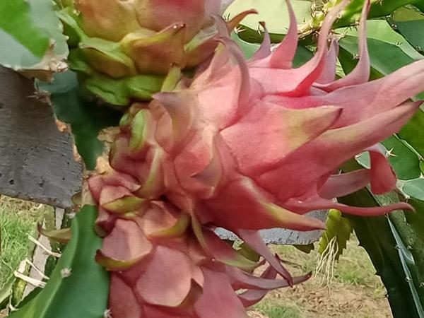 ખેડૂતોએ નવીન કમલમ ફળ (ડ્રેગન ફ્રૂટ)નુ વાવેતર કર્યુ. - Divya Bhaskar