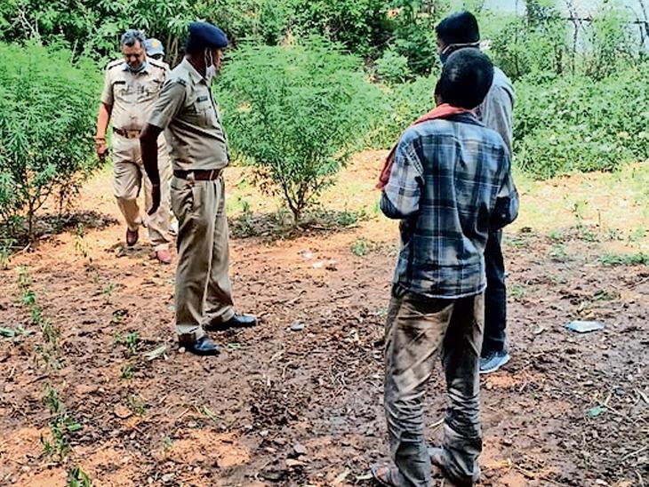 સંતરામપુર તાલુકાના મોટા સરણૈયા ગામે ખેતરમાંથી ગાંજાના છોડ સાથે ઝડપાયો - Divya Bhaskar