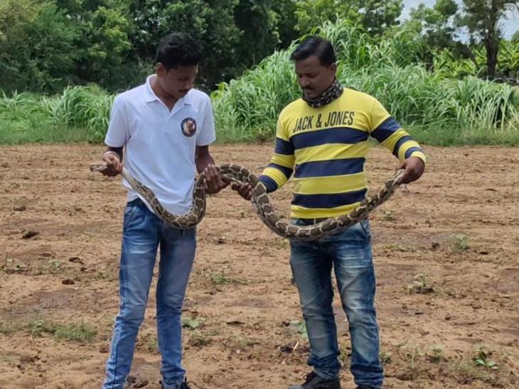 6 ફૂટ લાંબો અજગર રેસ્ક્યૂ કરીને વન વિભાગને સોંપ્યો - Divya Bhaskar