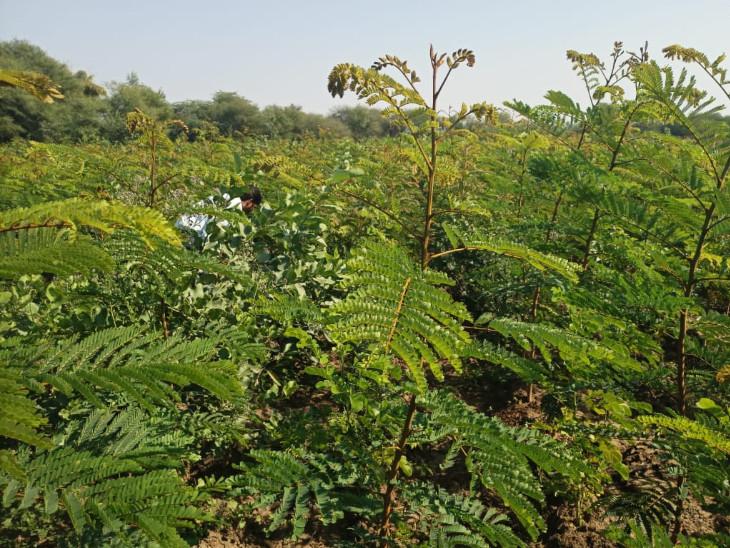 વડોદરા જિલ્લામાં મિયાવાકી પદ્ધતિથી જિલ્લા ગ્રામ વિકાસ એજન્સીના માધ્યમથી ગ્રામ મીયાવાકી વનોનો ઉછેર થઇ રહ્યો છે