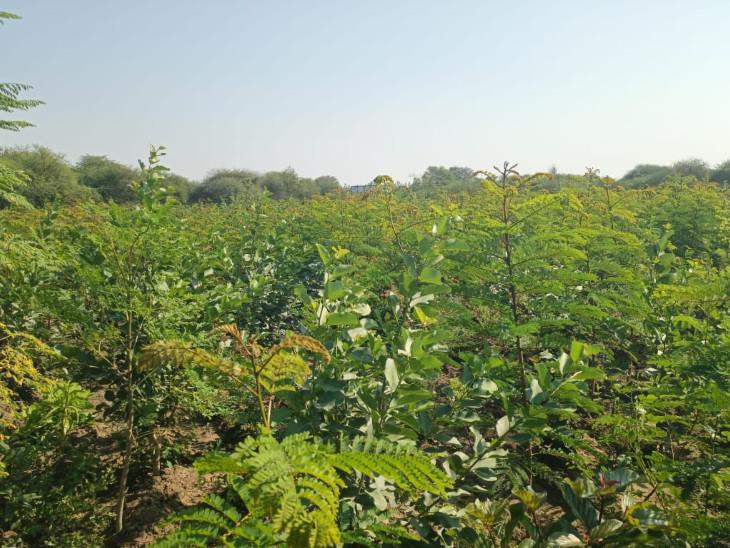 એક હેક્ટર પડતર જમીન વિસ્તારમાં 12 હજાર જેટલા વૃક્ષોનું વાવેતર કરી ઘનિષ્ઠ વન ઉભુ કરવામાં આવ્યું