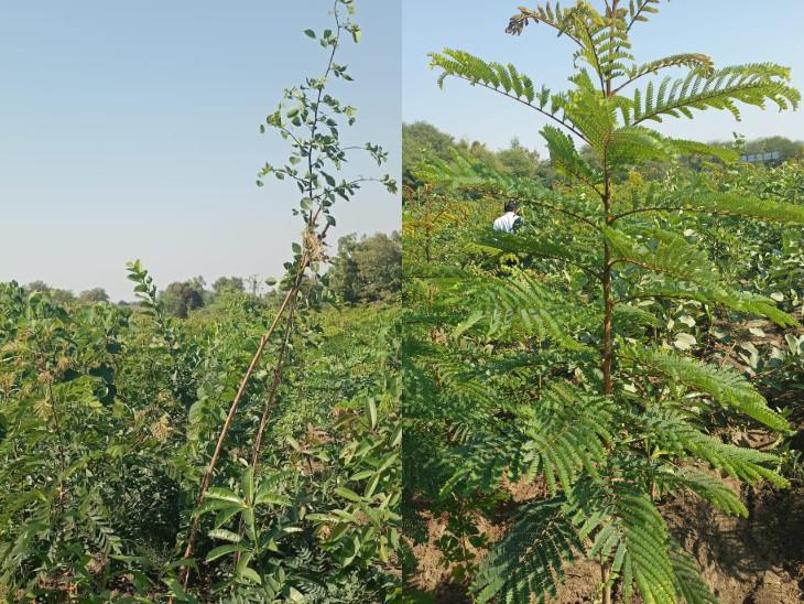છોડનો દસ ઘણો ઝડપી વિકાસ થવા સાથે 30 ઘણું ગાઢ જંગલ બને છે