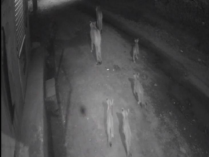 રાજુલાના કાતર ગામમાં શિકારની શોધમાં ચાર બચ્ચાં સાથે સિંહ-સિંહણ ઘૂસ્યા, CCTV વાઈરલ|અમરેલી,Amreli - Divya Bhaskar