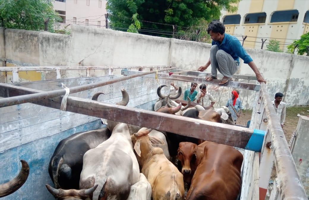 મહેસાણાના માર્ગો પર રખડતા ઢોર પકડવા પાલિકા એક્સન મોડમાં, 30 ગાયો અને 10 આખલા પકડી પાંજરાપોળમાં મોકલાયા|મહેસાણા,Mehsana - Divya Bhaskar