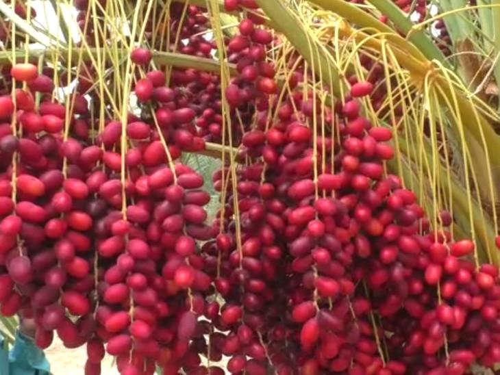 ફાર્મમાં ખારેકના છોડને રાસાયણિક ખાતર નહીં, પરંતુ ગૌમૂત્ર અને ગોબરના મિશ્રણથી તૈયાર કરેલું ઓર્ગેનિક ખાતર અપાય છે.