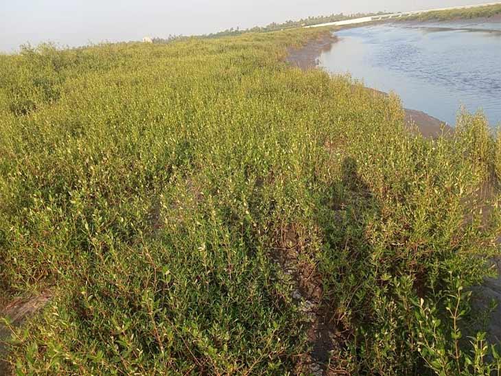 દરિયાકાંઠાની જમીનમાં ચેર ઉછેરનો પ્રોજેક્ટ - Divya Bhaskar